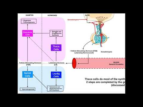 Specific Hormones | Functions of FSH and LH [Gonadotropins]