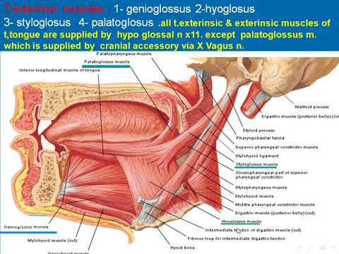87 Muscles of the tongue - YouTube