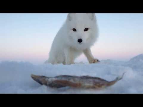 Песец: продолжение! (Песец и его подруга) \ Fox: continued