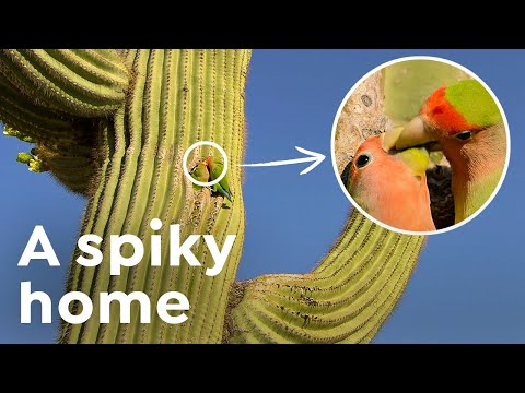 How this African Parrot Ended Up in a Cactus in Arizona