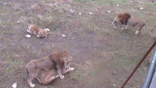 Лев охраняет львицу
