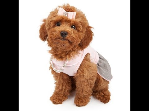 Miniature Poodle Dog Breed