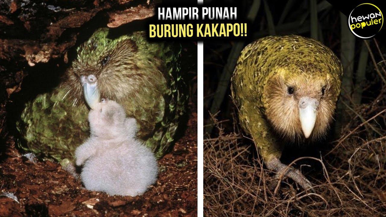 Terancam Punah!! Satu-satunya Burung Nuri yang Tak Bisa Terbang, Kini Hanya Tersisa 147 Ekor
