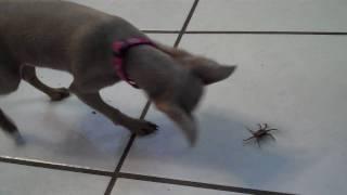 Min Pin Vs Fiddler Crab