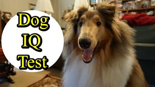 Intelligence Test with Rough Collie!
