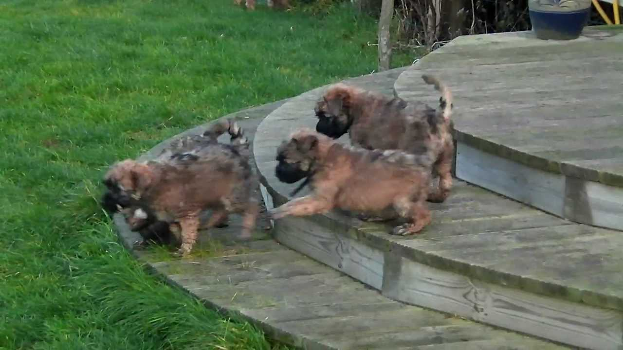 Soft Coated Wheaten Terrier Puppies Playing In Garden Www Wonderfulwheatens Co Uk