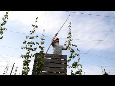 La récolte du houblon en Suisse