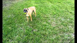 A Dog Trained To Poop On Command.wmv