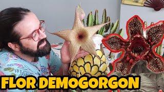 Suculentas Demogorgon – Stapelia Gigantea e Dicas de Cultivo
