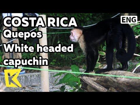 【K】Costa Rica Travel-Quepos[코스타리카 여행-케포스]해변의 흰머리 카푸친 원숭이/Manuel Antonio/White-headed capuchin/Monkey
