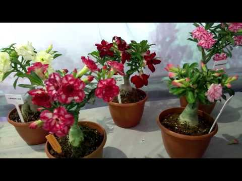 Adenium plant Amazing collection part1