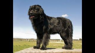 Ньюфаундленд (Newfoundland) - порода собак