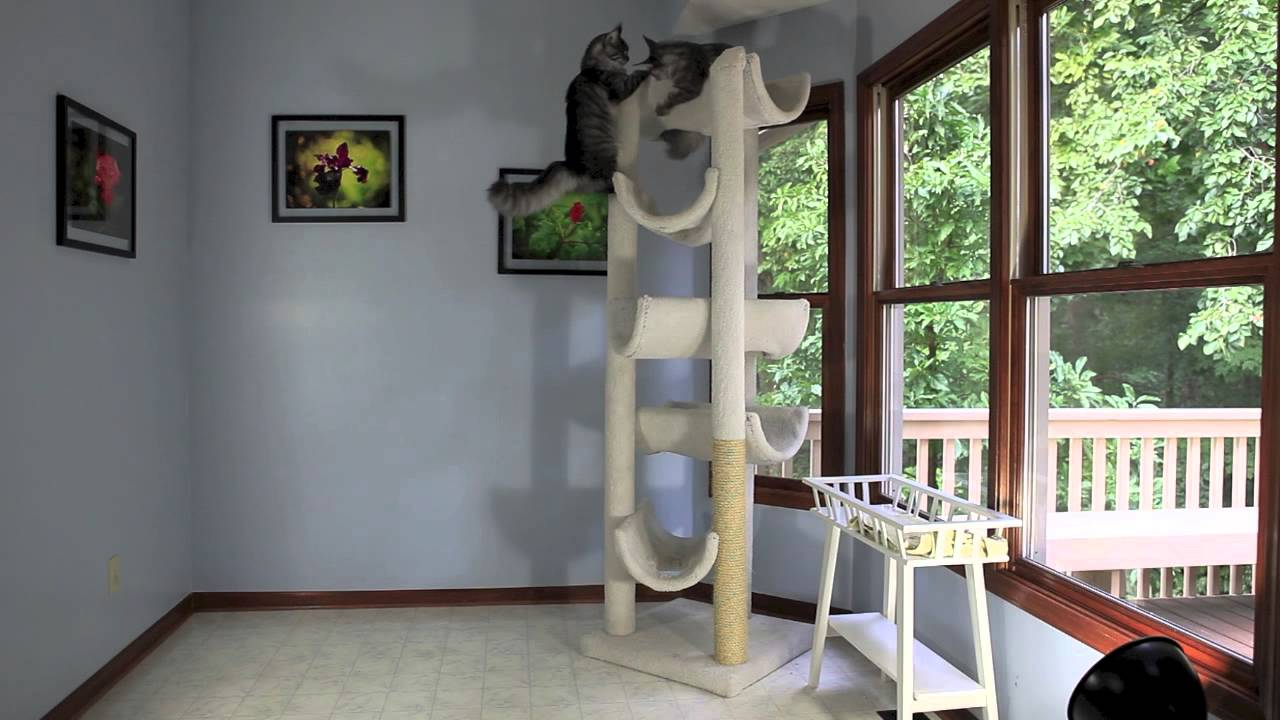 Delicieux Two MaineCoon Kittens Playing On A Cat Tree