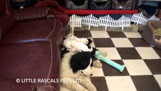Little Rascals Uk Breeders New Litter Of Malshi Puppies - Puppies For Sale 2016