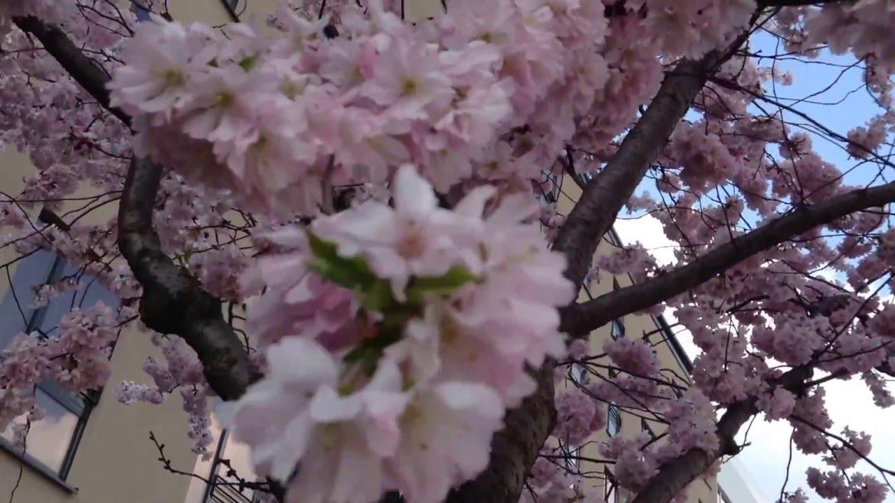 Arbol De Cerezo Japones los arboles cerezos de japón sakura, bellisimos en hamburgo