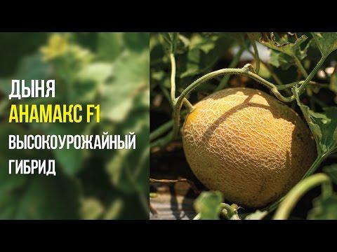 Дыня Анамакс F1 высокоурожайный гибрид