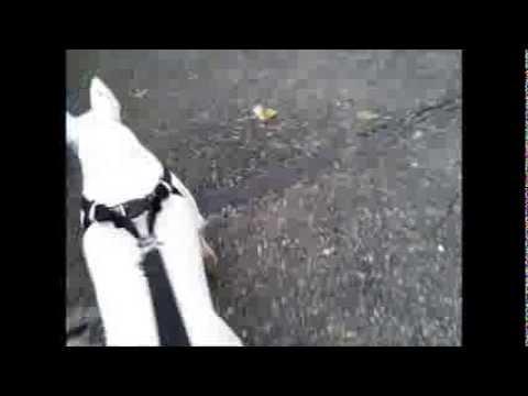 Bullterrier Walking