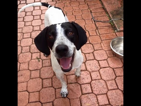 Florida Pointer Rescue Adoptable Dogs Please share for homes