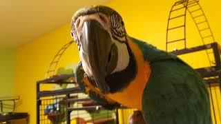 Попугай ара открыл клетку и приставал к эклектусу