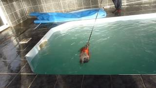 Shihtzu Swimming