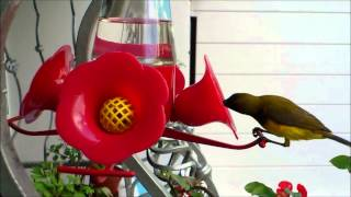 Birdie Feeding From Perky Pet Hummingbird Pinch Waist Glass Bird Feeder