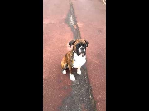 Va chercher... enddy dog boxer et sont frisbee