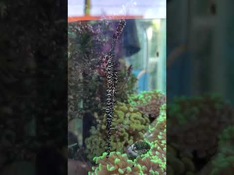 O2manyfish - Meet Our New Ghost Pipefish --- Super Cool