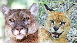 Cougar & Caracal/Serval Hybrid Rescued! - Sanctuary Closes