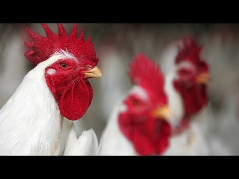 Could chicken droppings be an alternative fuel? Israel scientists say yes