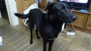 Черная собака просит сладости