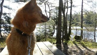 Finnish spitz enjoys wonderful day at the lake with best friend