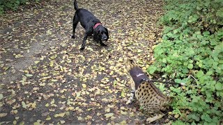 Sabian the Savannah cat MEETS DOGS