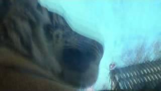 """maleelimattamileelam tiger"" by Jadis Mercado"