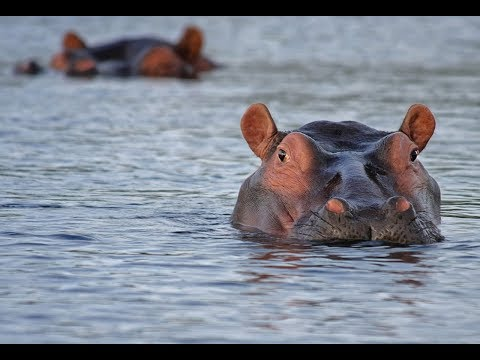 South Africa Travel Guide - Hippos at iSimangaliso Wetland Park, Kwa Zulu Natal