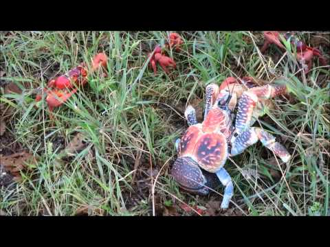 Robber Crab Attacking Red Crab
