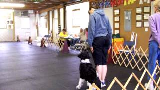 Portuguese Water Dog Training For Utility And Open Akc Showing-- 3 Of 3