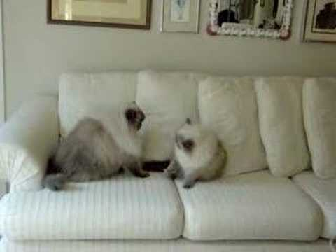 Sterling & Little Girl - Blue Point Doll Face Himalayan Persian Cats