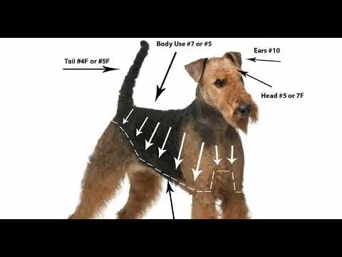 How to Groom the Airdale, Airdale Grooming, Airdale Hair Cut