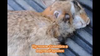 +   Предупреждение      Личинки едят олень и волк червей внутри кролика