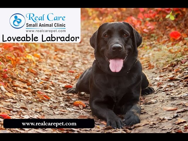 Lovable Labradors