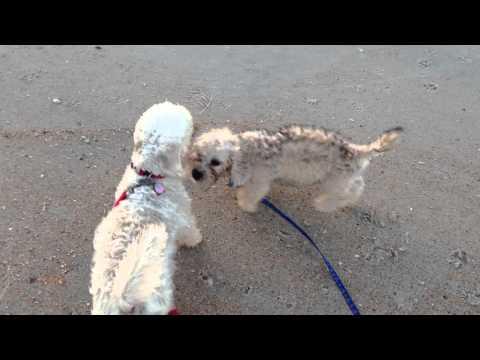 Dandie Dinmont Terriers-Eloise and Abelard