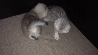 Шотландские котики на продажу в Новосибирске (девочка и мальчик)