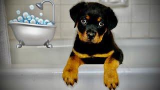 Rottweiler puppy first bath!