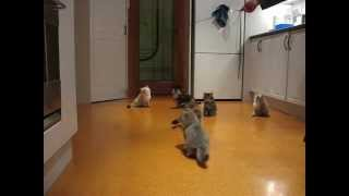 Siberian kittens chase 'Da Bird'