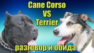 Видео показывает реакцию собаки терьера на высказывания кане корсо ...