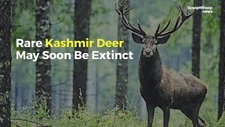 Hangul, The Kashmir Stag, Will Soon Become Extinct