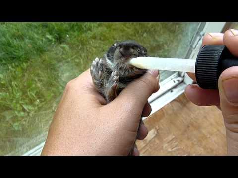 Feeding Wild Cottontail Baby Rabbit