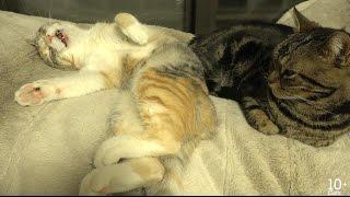 猫のかわいい寝言