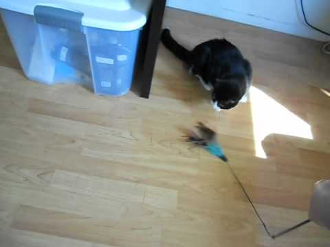 My cat playing with feather toy