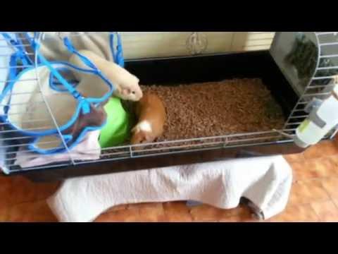 comment nettoyer la cage de ses cochon d 39 inde youtube
